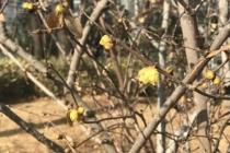 [포토] 봄을 재촉하는 납매 '활짝'