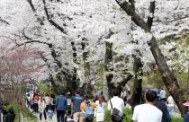 올해 벚꽃엔딩은 이달 중순 경기도 벚꽃축제와 함께