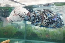 [포토뉴스] 우리 집 어항에는 '로봇 물고기'가 산다