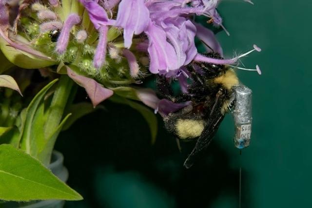 무선 기술의 놀라운 진화, 장수말벌 추적 꿀벌 보호 - 산업종합저널 장비